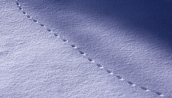 how to find food in winter snow tracks