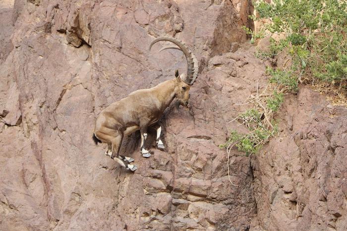 Goat climbing a rock wall