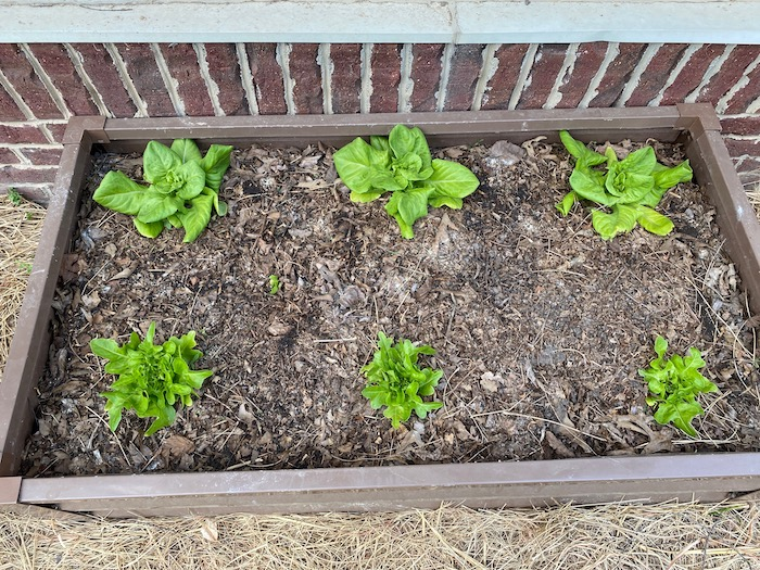 The lettuce bed I tested