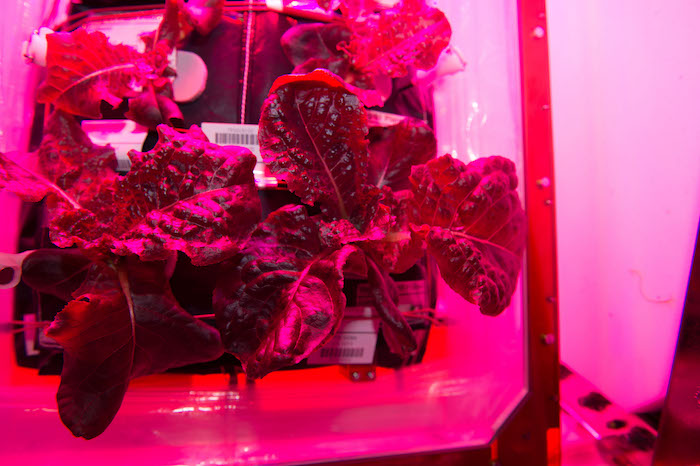 Lettuce growing on the ISS
