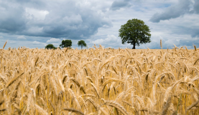 Are world inventory of grain dwindling due to extreme heat